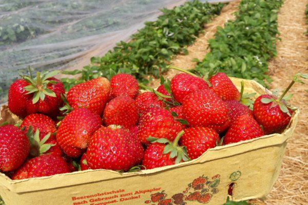 Erdbeeren Am Kirmeier Hof
