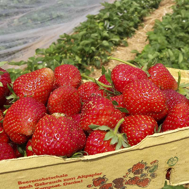 Kirmeier Hof - Erdbeeren
